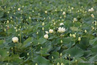 Photo: American lotus (Nelumbo lutea)