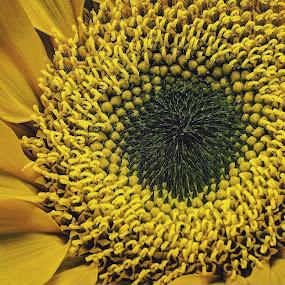 Sun Flower by AsDigiClicks Photography - Nature Up Close Flowers - 2011-2013 ( macro, nature, sun flower, beauty, flowers )