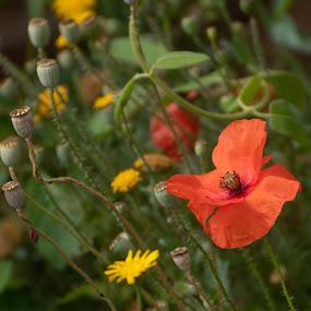 Meadow Poppy by Doug Faraday-Reeves - Flowers Flowers in the Wild ( red, poppy, meadow, poppy head )