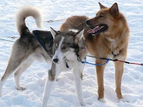 Photo: Huskies d'Alaska