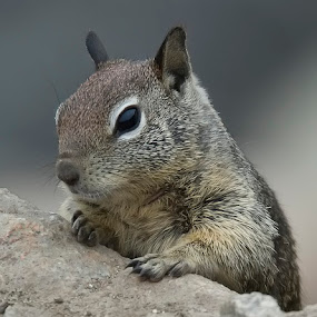 Ground Squirrel by Tom Theodore - Animals Other Mammals
