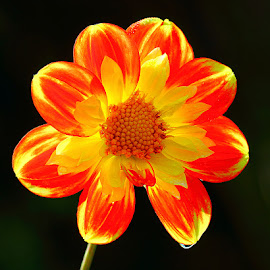 Dalhia n000220 by Gérard CHATENET - Flowers Single Flower