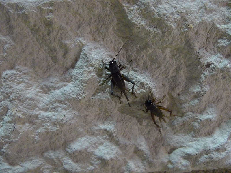 Two crickets