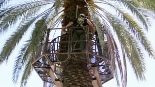 Date Palm Pollenator