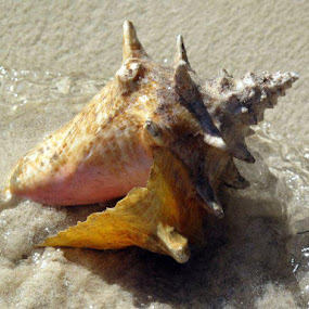 Beached Conch by Donna Silva - Artistic Objects Still Life