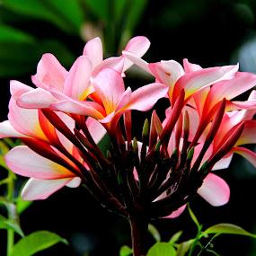 by Ridzwan Mohd Nor - Nature Up Close Flowers - 2011-2013 ( plumeria, nature, flora, frangipani, flowers )