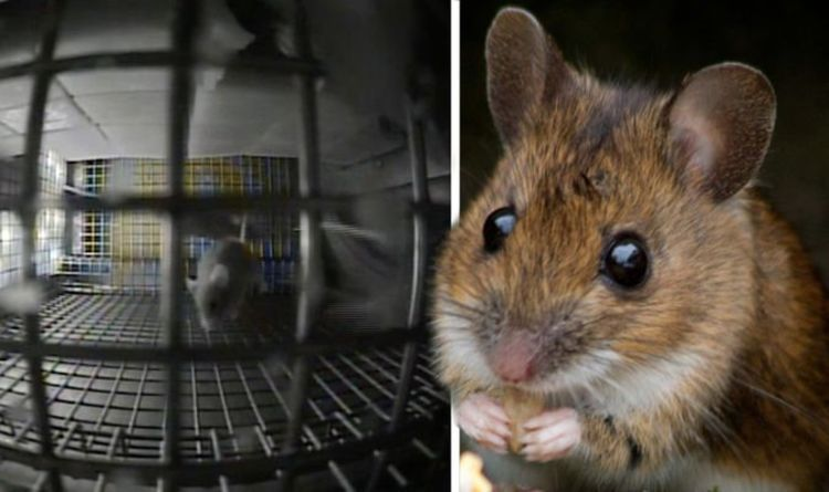hamster mouse mice rat in a cage by itself