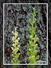 Photo: Listère à feuilles ovales, Listera ovata