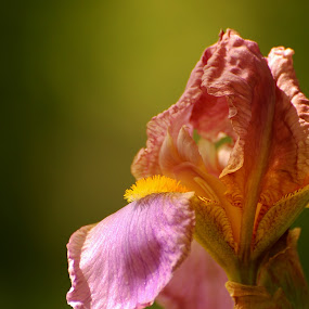 Iris by Stephanie Ostrander Bishop - Nature Up Close Flowers - 2011-2013 ( nature, iris, flowers, spring )