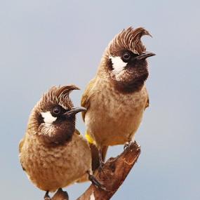 Himalyan bulbul by Nelson Thekkel - Animals Birds