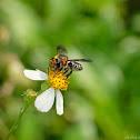 Apidae 蜜蜂屬