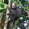 Sagui-da-serra-escuro (Buffy-tufted-ear marmoset)