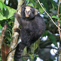 Sagui-da-serra-escuro (Buffy-tufted-ear marmoset)