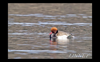 Photo: アカハシハジロ オス カモ目 カモ科 ( Red-crested Pochard )