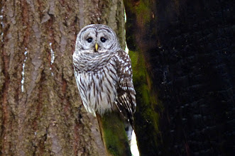Photo: Barred Owl on a hunting perch.