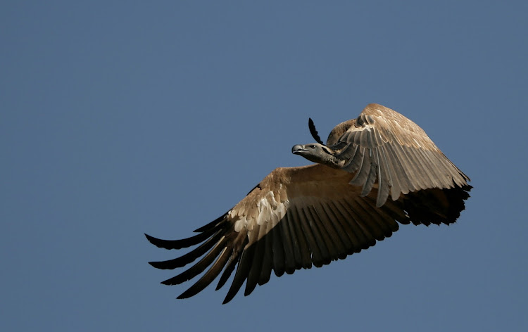 About 90% of those injured vultures are from power line collisions.