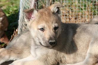 Photo: aita sibillini wolf