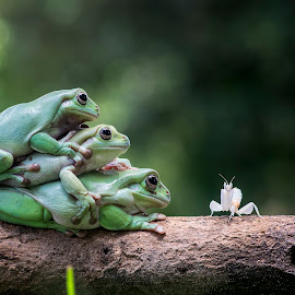 Mantis, Orchid Mantis, Frog, Frogs by Sulistyo Aji - Uncategorized All Uncategorized ( macro, nature, sigma, frog, orchid mantis, indonesia, mantis, nikon, insect,  )