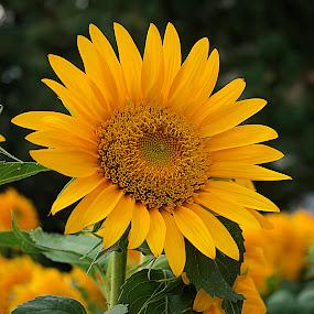 Yellow Sunflower #3 by Frank Barnitz - Flowers Single Flower ( sunflower, yellow, flower )
