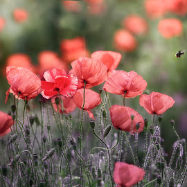 Summer Red Poppies by Ceri Jones - Flowers Flowers in the Wild ( floral, bee, pollination, bright, petals, summer, flower, red, field, busy, season, poppies, fresh )