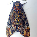 Greater Death's-Head Hawkmoth