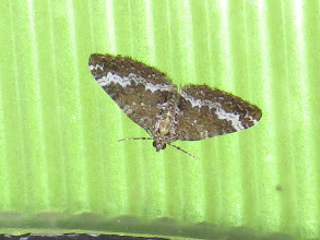 Photo: 16 Jul 13 Priorslee Lake: A Small Rivulet moth under flash: it had gone later so not available in natural light. Hard to separate from Rivulet except on size. No points of reference here! (Ed Wilson)
