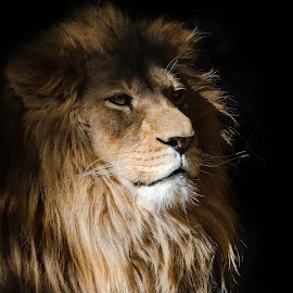 African Lion by Dave Lipchen - Animals Lions, Tigers & Big Cats ( african lion )