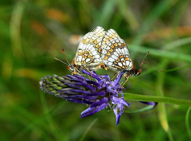 Farfalle gemelle di benny48
