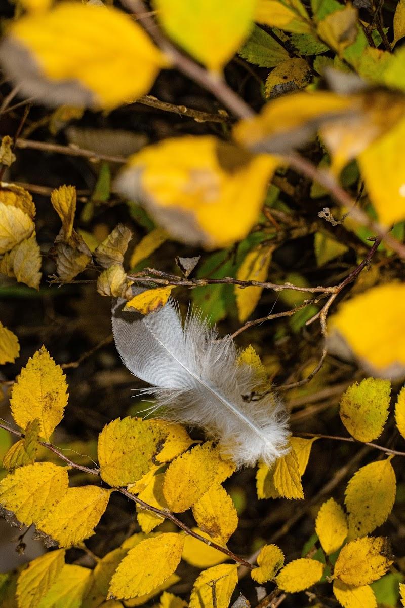 Piuma tra le foglie  di Resgausch