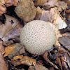 Warted puffball