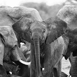Elephants by Kurt Haas - Black & White Animals ( elephants, nature up close, wilderness, elephant, nature close up, nature photography, national geographic, wildlife )