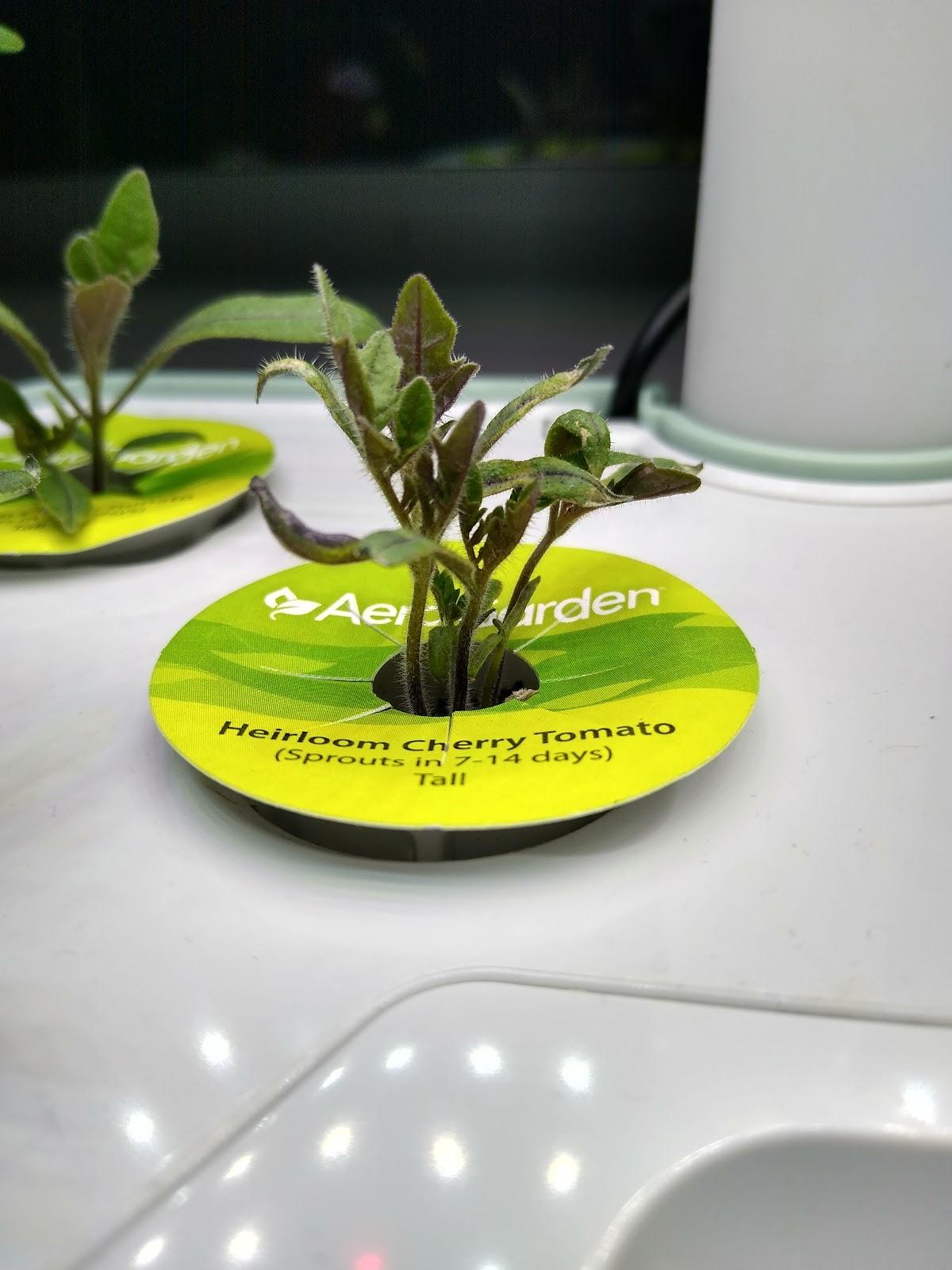 hydroponic tomato seedlings