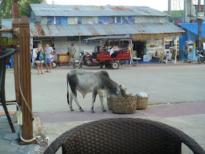 Photo: street cow eating the garbage