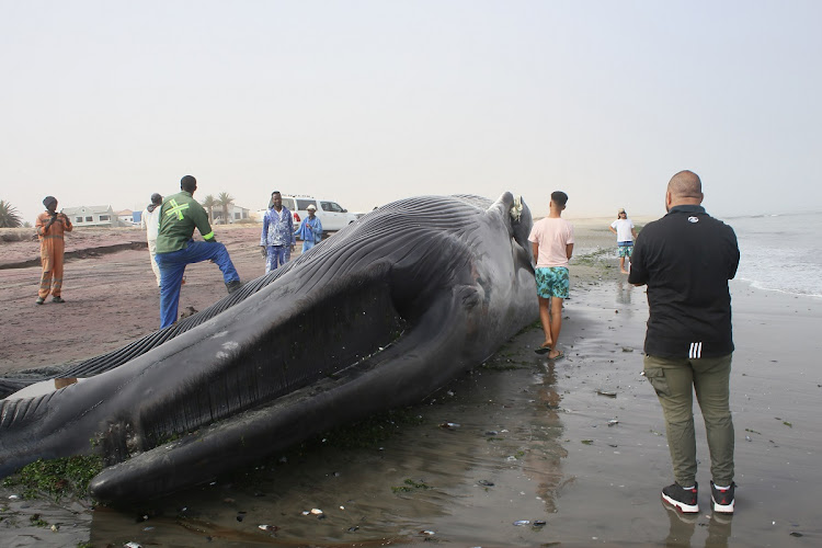 An Antarctic blue whale washed up dead on the shores of Walvis Bay, Namibia, on April 27. The animal was confirmed to be a female that was just over 18m in length and had several injuries consistent with a strike by a ship.