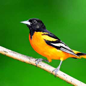 Colorful Baltimore Oriole by Ruth Overmyer - Animals Birds (  )