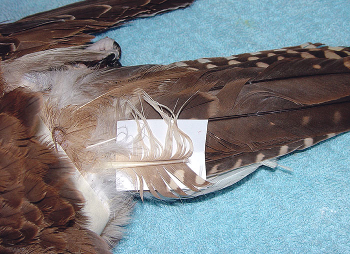 This falcon sustained a fracture of a tail feather with complete loss of the fragment
