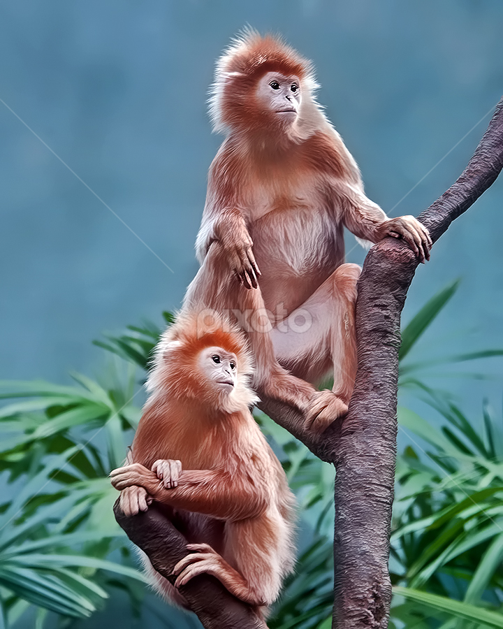Friends by Shelly Wetzel - Animals Other Mammals ( ebony langur )