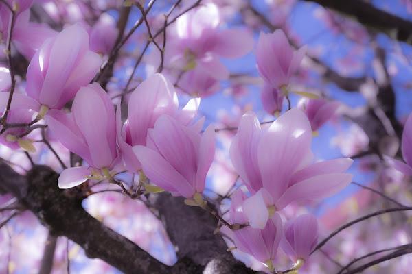 Magiche magnolie di Daimon