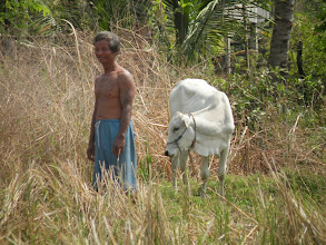 Photo: Sakorn's new breeding calf provided by Canadian Landmine Foundation