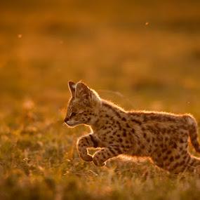 Serval Kitten by Ken Dyball - Animals Other ( serval kitten masai mara kenya golden light )