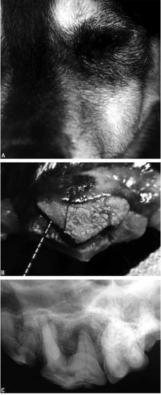 Dog with an apical abscess originating from the left maxillary fourth premolar tooth