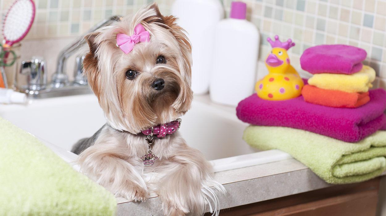 Собака породи йоркширський тер'єр у ванній