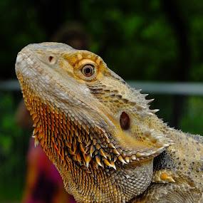 iguane by Jean-Pierre Machet - Animals Reptiles ( iguane, reptile,  )