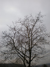 Photo: A young Walnut tree close to my home. Photo taken on Sunday, after my walk with #mrrabbit around 16.00.   For #treetuesday +Tree Tuesday by +Christina Lawrie +Christina Lawrie and +Shannon S. Myers