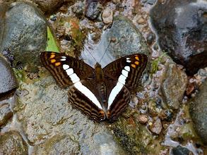 Photo: WHITE-WRISTED (ALALA) SISTER--adelpha alala--RIO CHALUAYACU, NAPO