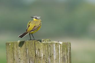 Photo: Western Yellow Wagtail (Schafstelze); Wedel, DE