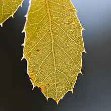 Photo: Leaf and Light, plate 1