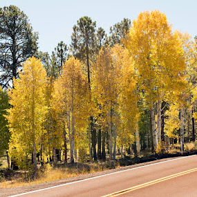 Aspen Road by Greg Johnson - Landscapes Forests ( sky, nature, highway, green, beautiful, arizona, fall, trees, forest, yellow, road, aspens )