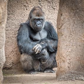 Heavy Meditation by Fred Prince - Animals Other Mammals ( gorilla, unhappy, albuquerque, zoo,  )