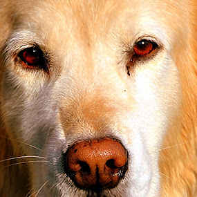 Goldie by MarySue Price - Animals - Dogs Portraits ( canine, golden retriver, puppy, dog, retriver )